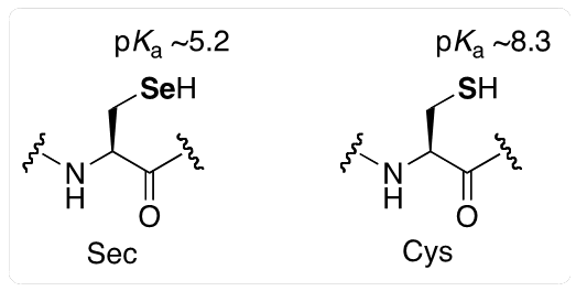Figure 2. Structure and side-chain pKa values of selenocysteine (Sec) and cysteine (Cys).
