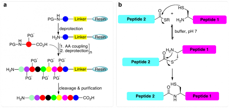 Figure 1. The two major methods used in our laboratory; a. solid-phase peptide synthesis (SPPS) and b. native chemical ligation (NCL) in order to chemically synthesize small to medium size proteins (up to ~100-200 amino acids).